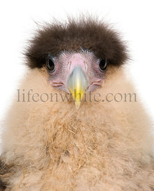 Close-up headshot of Southern Caracaras, 20 days old