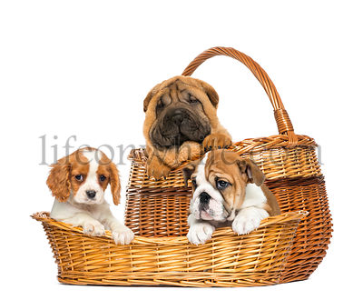 Sharpei, Cavalier King Charles and English Bulldog puppies in wicker baskets