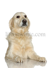 Labrador retriever cream (3 years)