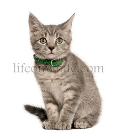 Kitten European cat, sitting in front of white background