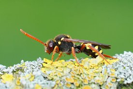 Closeup of a female of the colorful orange horned nomad cuckoo bee , Nomada fulvicornis