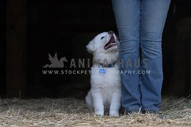 puppy sitting beside girl looking up at her - mouth open