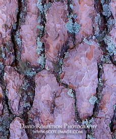 Image - Close up of bark of a Scots Pine tree