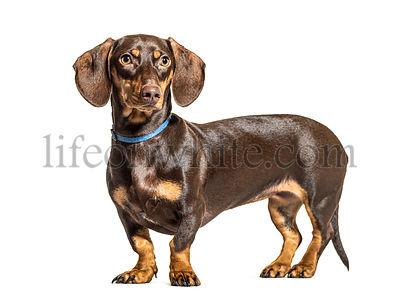 Side view of a standing Dachsund dog, isolated on white