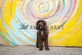 big brown doodle standing in front of colorful mural