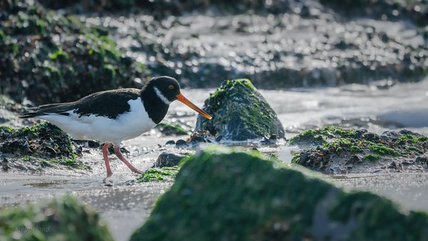 Foraging Oystercatcher