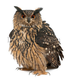 Eurasian Eagle-Owl, Bubo bubo, 15 years old, standing against white background