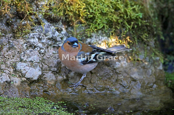 Common Chaffinch male (Fringilla coelebs) at the edge of the garden pond, Lake District National Park, Cumbria, England