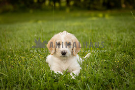 White, yellow labrador puppy laying in grass.