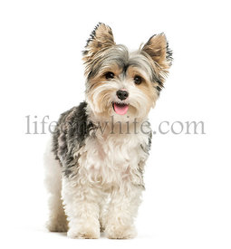 Biewer Yorkshire Terrier, 3 years old, in front of white background