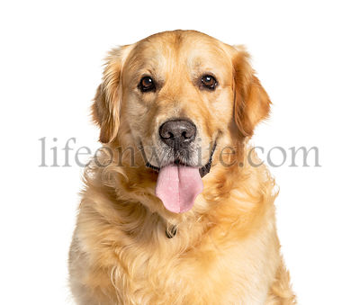 Headshot of a panting Golden Retriever, isolated on white