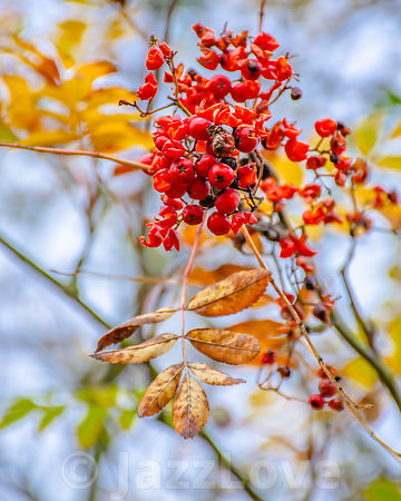 Red mountain ash berries on twig with dry and yellow leaves.