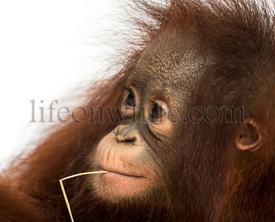 Close-up of a young Bornean orangutan with straw wisp in its mouth, Pongo pygmaeus, 18 months old, isolated on white