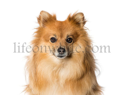 Keeshond in front of white background