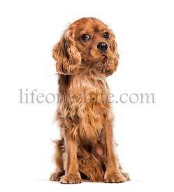 Cavalier King Charles Spaniel sitting in front of white background