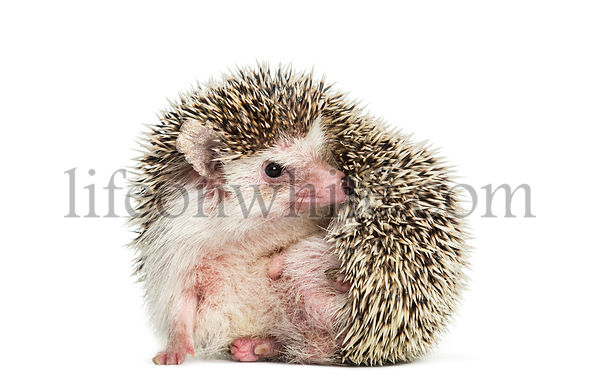 Scratching European Hedgehog sitting in front of white background