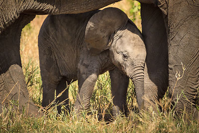 Baby Elephant Protected By Mother II