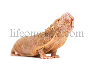 Naked Mole-rat looking up, hairless rat, isolated on wihte