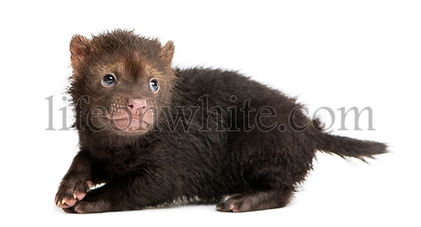Side view of a baby Bushdog looking back, intimidated, Speothos venaticus, 2 months old, isolated on white