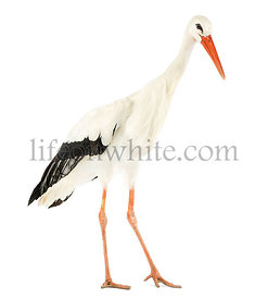 White stork walking, Ciconia ciconia, isolated on white