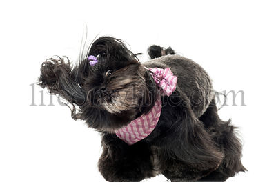 Lhassa apso standing, in the wind, isolated on white