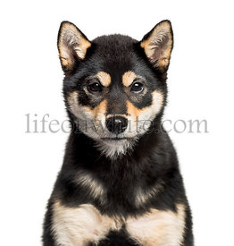 Young Shiba Inu looking at camera against white background