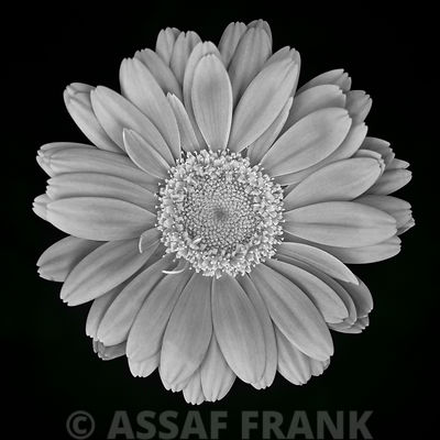 Close-up of Gerbera daisy (black and white)
