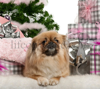 Pekingese, 4 years old, lying with Christmas gifts in front of white background