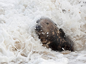 Grey Seal  Halichoerus grypus bull in surf North Norfolk January