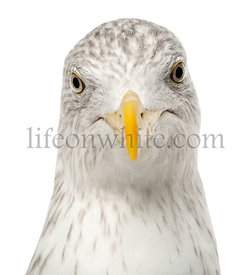 European Herring Gull, Larus argentatus, 4 years old, against white background