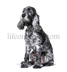 One-eyed blind, black and white, old Cocker Spaniel dog, isolated