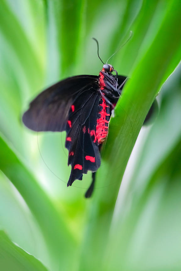 Atrophaneura - Bat wing butterfly (Atrophaneura semperi)