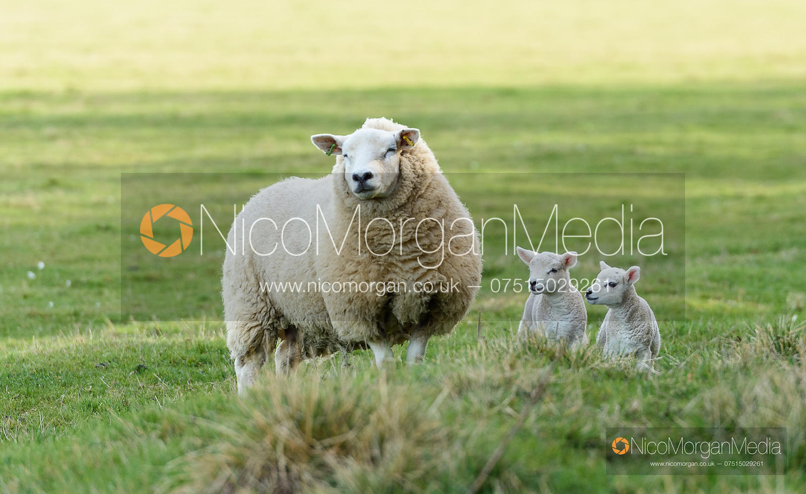 Ewe with two newborn lambs on Hanbury's. The Cottesmore Hunt at Empingham