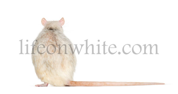 Back view of a domestic rat sitting against white background