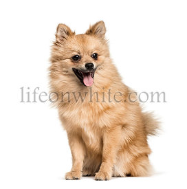 Pomeranian , 7months, sitting against white background