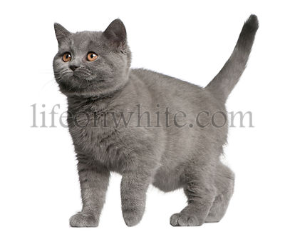 Brazilian Shorthair kitten, 10 weeks old, walking in front of white background