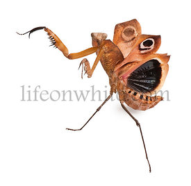 Giant Dead Leaf Mantis, Deroplatys desiccata, 7 months old, against white background