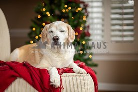 Dog with eyes closed laying in front of Christmas tree