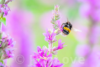 Bumblebee in flight with visible wings movement on. british meadow in summer