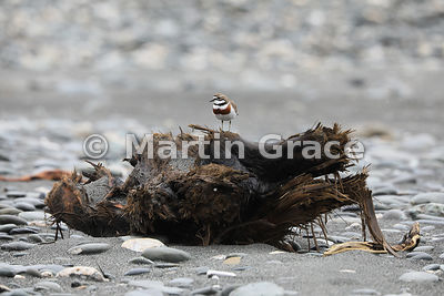 Male Banded Dotterel (Charadrius bicinctus bicinctus) using a large piece of driftwood as a vantage point from which to guard...