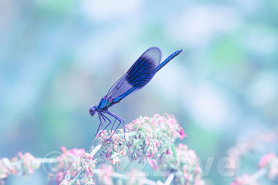 Banded demoiselle perching on plant with small pink wildflowers.