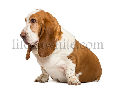 Basset Hound sitting and looking left , isolated on white