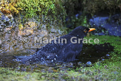 Male Common Blackbird (Turdus merula) bathing, Lake District National Park, Cumbria, England