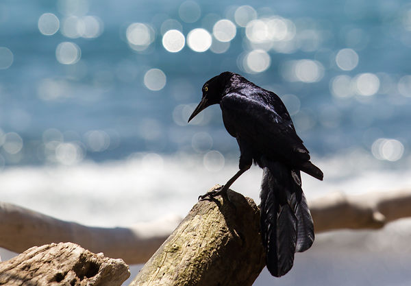 Great-tailed Grackle (Quiscalus mexicanus) on a trunk on the beach of Osa peninsula in Costa Rica.
