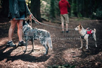 Two dogs in harnesses and backpacks waiting for their owners to finish resting on a hike