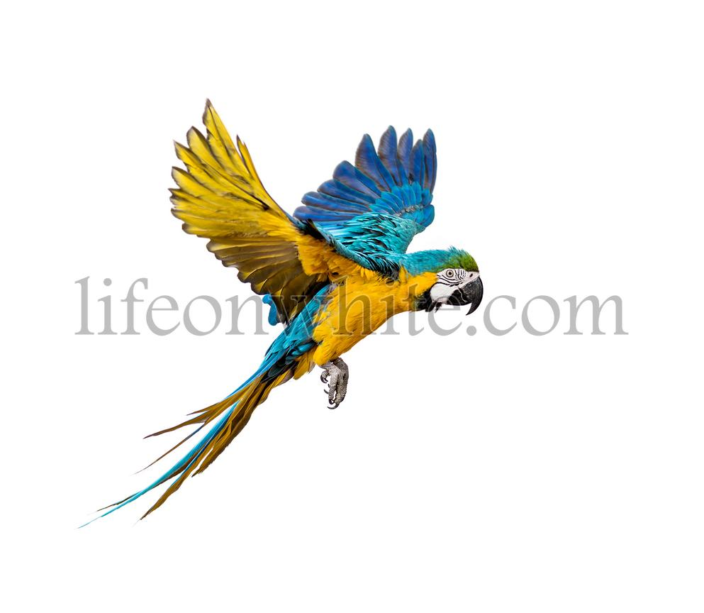 Side view of a blue-and-yellow macaw, Ara ararauna, flying, isolated