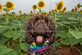 close up head shot of smiling doodle in front of sunflowers