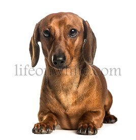 Dachshund lying against white background