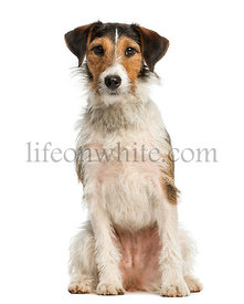 Fox Terrier, 1 year old, sitting and looking at the camera, isolated on white