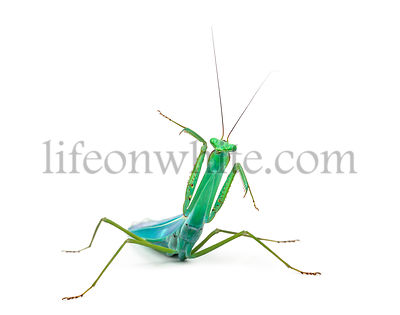Front view of praying mantis, isolated on white